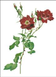 Rosa Borbonica Rose