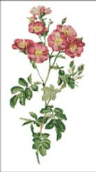 Rose California