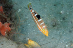 Pudding Wife Wrasse (Small)