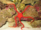 Red Serpent Starfish