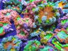 Caribbean sea anemone, rock flower anemone, ultra rock flower anemone - 10 pack.