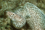 Spotted Moray (Small)