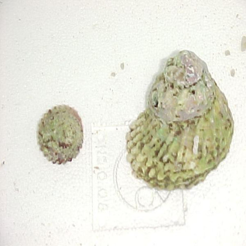 Giant Turbo Snails