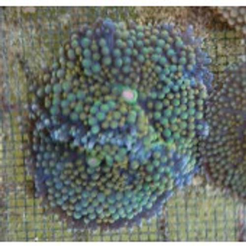 ricordea-green with orange spots