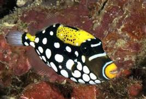 Clown Triggerfish  (4-6 inches med-large)