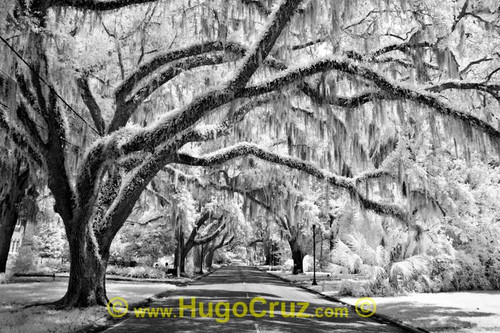 """Ocala Canopy"" ● Infrared Photography"