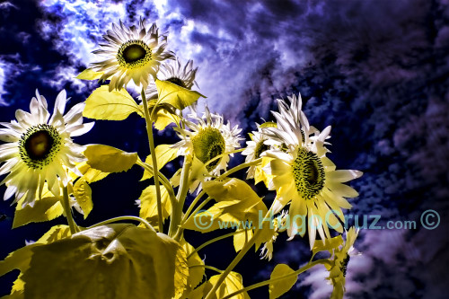 """Sun Blooms"" - Infrared Photography"