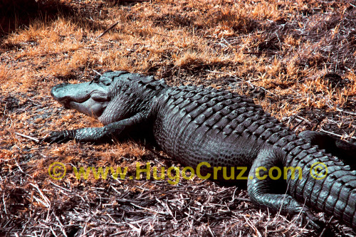"""Prairie Bull Gator"" ● Infrared Photography"