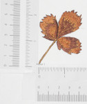 Iron On Patch Applique - Fall Leaf in Browns