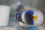 """Africanus Angelfish (1 1/2"""" juv)"""