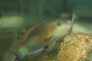 "Quoyi Parrotfish (5-6"")"
