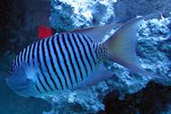 "Zebra Swallowtail Angelfish-5"""