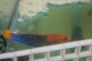 Yellowtail Coris Wrasse-Adult 5-6""