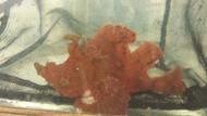 Rhinopias Scorpionfish-Super Red (frondosa)
