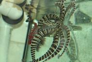 Zebra Octopus