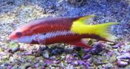 """Cuban Hogfish-XL (7"""")"""