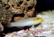 Yellowheaded Sleeper Goby (XL)