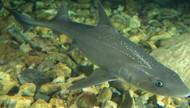"Gray Smoothhound Shark (15"")"