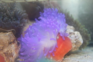Long Tentacle Anemone-Purple