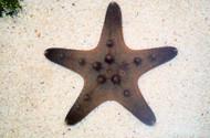 Chocolate Chip Starfish
