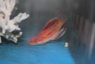 Paracheilinus Attenuatus (SUPERMALE Diamond Tail Flasher wrasse)