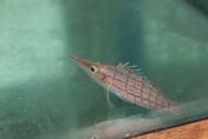 Longnose Hawkfish