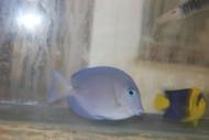 "Atlantic Blue Tang | Acanthurus coeruleus (2"")"