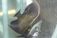 "French Angelfish (7"") 