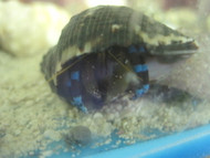 Electric Blue Hermit Crabs
