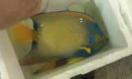 Queen Angelfish | Holacanthus Ciliaris | 10""
