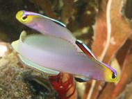 "Helfrichi Firefish-2-3"""