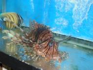 """Volitan Lionfish-(3-4"""")"""