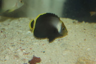 "Black Velvet Angelfish (2"" Juvenile)"