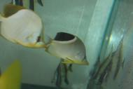 """Saddleback Butterflyfish (3-4"""")"""