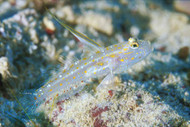 Tangora Shrimp Goby