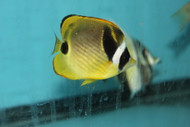 "Raccoon Butterflyfish (3-4"")"