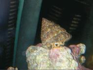 Turbo Astrea Snail