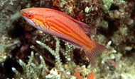 Filamented Flasher Wrasse
