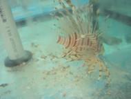 """Volitan Lionfish 5-6"""""""