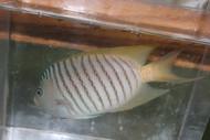 "Zebra Swallowtail Angelfish (Male)-5"""
