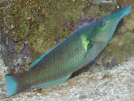 "Green Bird Wrasse-6'""(Hawaii)"