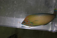"Grey Head Wrasse (Halichoeres leucurus)-4"" male"