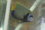 "Imperator Angelfish-adult (6-7"" male w Streamer)"
