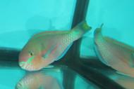 "Quoyi Parrotfish (8-9"")"