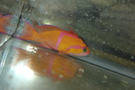 White Bar Anthias | Pseudanthias Leucozonus