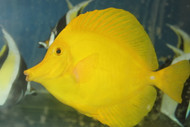 Hawaiian Yellow Tang (Zebrasoma flavescens) 4-5""