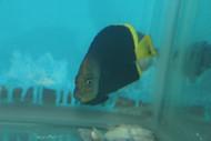 Chaetodontoplus vanderloosi, (Vanderloos Angelfish)