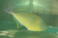 """Crosshatch Trigger (Xanthichthys mento)-8"""" male"""