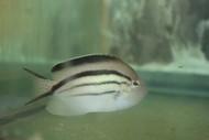 """Lamarck Angelfish (5-6"""" female)"""