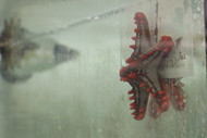 Red Knob Sea Star (Protoreaster linckii)